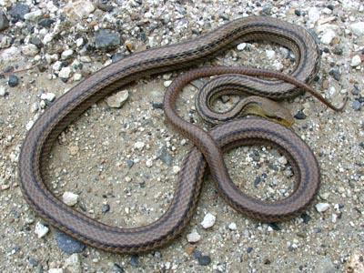 シマヘビの画像 p1_39